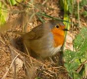 Le regard du Robin Image stock