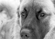 Le regard fixe désireux d'un chien de berger caucasien image stock