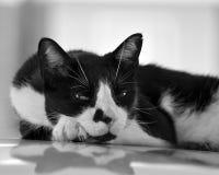 Le regard fixe d'un chat Images stock