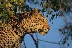 Le regard fixe du léopard Photographie stock libre de droits