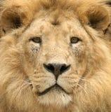 Le regard fixe majestueux du lion Image libre de droits