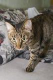 Le regard fixe prédateur du chat rayé Images stock