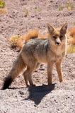 Le renard andin du Chili photo libre de droits