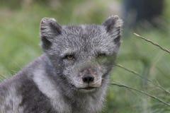 Le renard arctique avec l'été et l'hiver enduisent, portrait ou du fond d'herbe photo stock