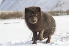 Le renard arctique bleu du commandant qui se tient dans la neige avec un augmenter Photos stock