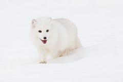 Le renard arctique est tous les sourires image stock