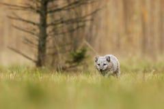 Le renard arctique vivent dans la toundra arctique et alpine - lagopus de Vulpes photographie stock