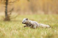 Le renard arctique vivent dans la toundra - lagopus de Vulpes - course sur le pré en été photos stock