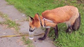 Le renard orange boit l'eau en parc vert le jour d'été clips vidéos