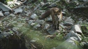 Le renard sauvage regarde fixement banque de vidéos