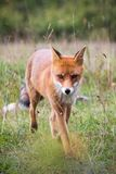 Le renard vient photographie stock