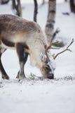 Le renne mange dans une forêt d'hiver Photo libre de droits