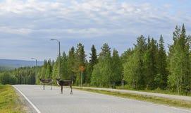 Le renne sont sur la route Photographie stock libre de droits