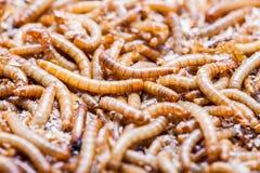 Le repas worms des larves photos stock