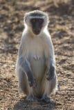 Le repos de singe de Vervet et se reposent et foragent pour la nourriture en nature Photo libre de droits