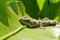 Le reptile est gecko de vol photos stock