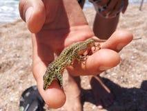 Le reptile rouge de lézard de remorque photos stock