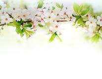 Fleurs blanches de ressort sur une branche d'arbre