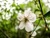 Le ressort de fleurs de cerisier dans peut photos libres de droits