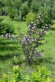 Le ressort de floraison baguent le diabolo de physocarpus dans le jardin Photo libre de droits