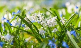 Le ressort de sibirica de Scilla, bleu et blanc fleurit Photos libres de droits