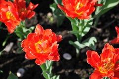 Le ressort de tulipes s'est développé photos libres de droits