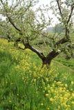 Le ressort est dans le ciel : arbres fruitiers de floraison image libre de droits