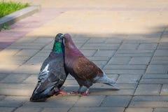 Le ressort est dans le ciel et l'amour est partout des pigeons embrassant et joignant Image libre de droits