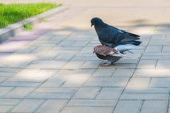 Le ressort est dans le ciel et l'amour est partout des pigeons embrassant et joignant Images stock
