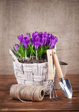 Le ressort fleurit dans le panier en osier avec des outils de jardin Photographie stock