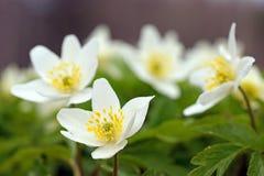 Le ressort fleurit des anémones photographie stock libre de droits