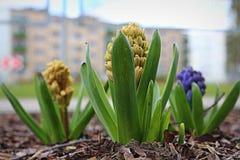Le ressort fleurit des jacinthes Photo libre de droits
