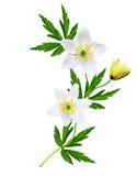 Le ressort fleurit des perce-neige d'isolement sur le fond blanc Photos libres de droits
