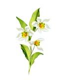 Le ressort fleurit des perce-neige d'isolement sur le fond blanc Photographie stock libre de droits