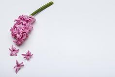 Le ressort fleurit - Hiacinth, à l'arrière-plan blanc Photo libre de droits