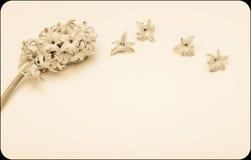 Le ressort fleurit - Hiacinth, à l'arrière-plan blanc Image libre de droits