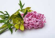 Le ressort fleurit - Hiacinth, à l'arrière-plan blanc Photos libres de droits