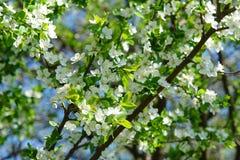 Le ressort fleurit la branche du jeune arbre Photos stock