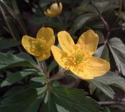 Le ressort fleurit le jaune Photo stock