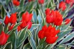 Le ressort fleurit les tulipes rouges Photo stock