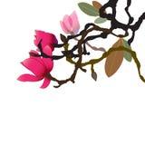 Le ressort a jailli, la magnolia que l'arbre brille avec ses fleurs vibrantes et veloutées photo libre de droits