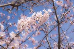 """Le ressort japonais représentent avec un  de fleurs de cerisier ou d'""""Sakura†dans le ciel d'espace libre de matin photo libre de droits"""