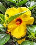 Le ressort jaune de fleur de ketmie est ici Image stock