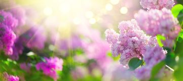 Le ressort lilas fleurit le fond violet de conception d'art de groupe Fleurs lilas violettes de floraison photos libres de droits