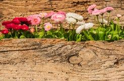 Le ressort multicolore de marguerite fleurit avec le fond de vintage et l'espace en bois de copie Images stock