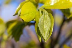 Le ressort part de l'élevage de l'arbre de kaki, nature Photographie stock