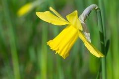 Plan rapproché de fleur de jonquille Photos libres de droits