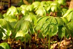 Le ressort pluvieux peut des pommes Photos libres de droits