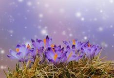 Le ressort pourpre de crocus fleurit dans l'herbe jaune sèche sur le fond coloré de bokeh Photographie stock libre de droits