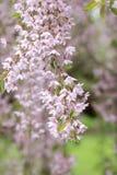 Le ressort rose de printemps fleurit et se développe dans un jardin japonais dans Yakima Arboretum Photos stock